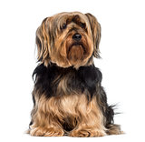Yorkshire Terrier sitting (6 years old)