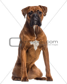 Boxer sitting (10 months old)