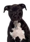 Headshot of a American Staffordshire Terrier puppy (3 months old