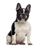 French Bulldog sitting (11 months old)