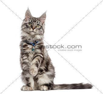 Maine Coon (2 years old) sitting, pawing and looking away