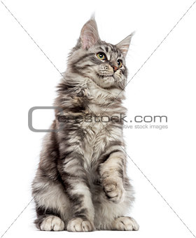 Maine Coon (2 years old) sitting, pawing and looking up