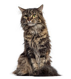 Maine Coon kitten sitting (4 months old)