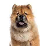 Headshot of a Chow Chow (7 months old)