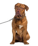 Dogue de Bordeaux sitting and wearing a chain dog leash (14 mont