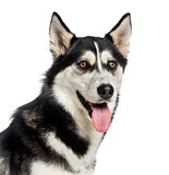 Headshot of a Siberian Husky