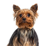 Headshot of a Yorkshire Terrier