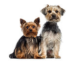 Two Yorkshire Terrier