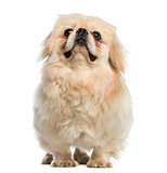 Fat Pekingese looking up (1 year old)