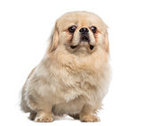 Fat Pekingese sitting (1 year old)