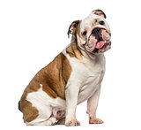 English Bulldog sitting (8 months old)