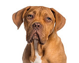 Headshot of a Dogue de Bordeaux puppy (5  months old)