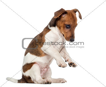 Jack Russell Terrier puppy on hind legs (3 months old)