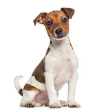 Jack Russell Terrier puppy sitting (3 months old)