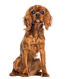 Cavalier King Charles Spaniel puppy sitting (5 months old)