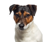 Headshot of a Jack Russell Terrier puppy (6 months old)