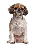 Shih Tzu sitting (5 years old)