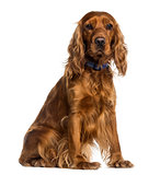 English Cocker Spaniel sitting (2 years old)