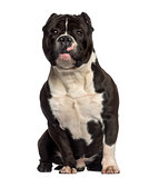 American Bully sitting (18 months old)