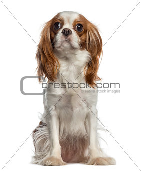 Cavalier King Charles Spaniel sitting (2 years old)