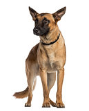Belgian Shepherd Dog standing (Malinois)
