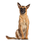 Belgian Shepherd Dog sitting (Malinois)