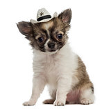 Chihuahua puppy wearing a cowboy hat (2 months old)