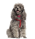 Poodle wearing a harnese (3 years old)