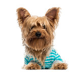 happy Yorkshire Terrier wearing a striped bleu shirt (2 years ol