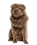 Long haired Shar Pei (10 months old)
