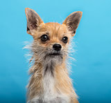 chihuahua, headshot, blue background