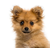 Headshot of a German Spitz puppy (3 months old)