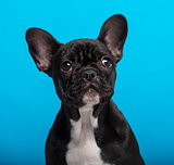 French Bulldog puppy (3 months old), headshot, blue background