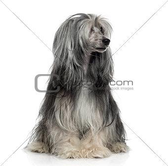 Powderpuff Chinese crested dog