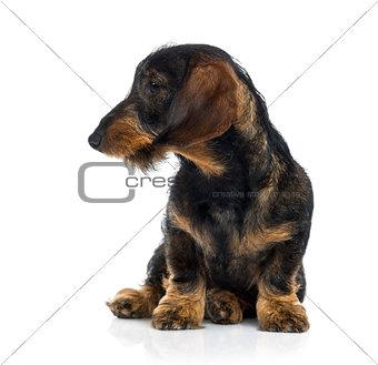 Dachshund puppy sulking (6 months old)