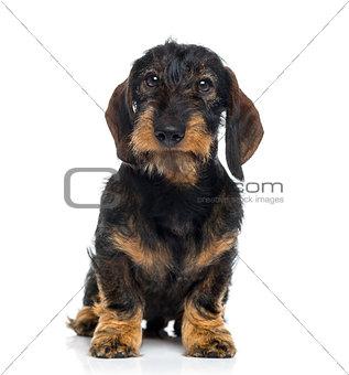 Dachshund puppy (6 months old)