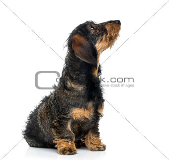 Dachshund puppy looking up (6 months old)