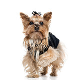 Dressed Yorkshire Terrier (5.5 years old)