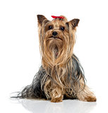 Yorkshire Terrier sitting and looking up(2.5 years old)