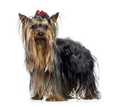 Yorkshire Terrier (2.5 years old)