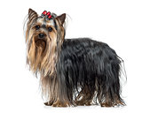 Side view of a Yorkshire Terrier (2.5 years old)