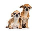 two Chihuahuas sitting together (5 years old)