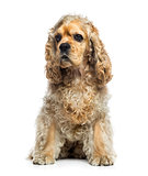 American Cocker Spaniel (1 year old)
