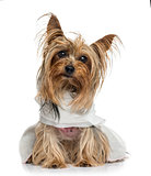 Dressed Yorkshire Terrier (5 years old)