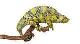 Meller's Chameleon on a branch - Trioceros melleri - isolated on