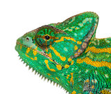 Headshot of a Yemen chameleon - Chamaeleo calyptratus - isolated