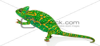 Yemen chameleon on hind legs - Chamaeleo calyptratus - isolated