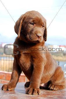 happy chocolate labrador puppy portrait