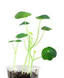 Young nasturtium seedling