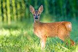 Roe deer cub - bambi